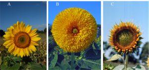 Infiorescenza di Helianthus annuus (A), del mutante Chry2 (B) e del mutante turf (C).